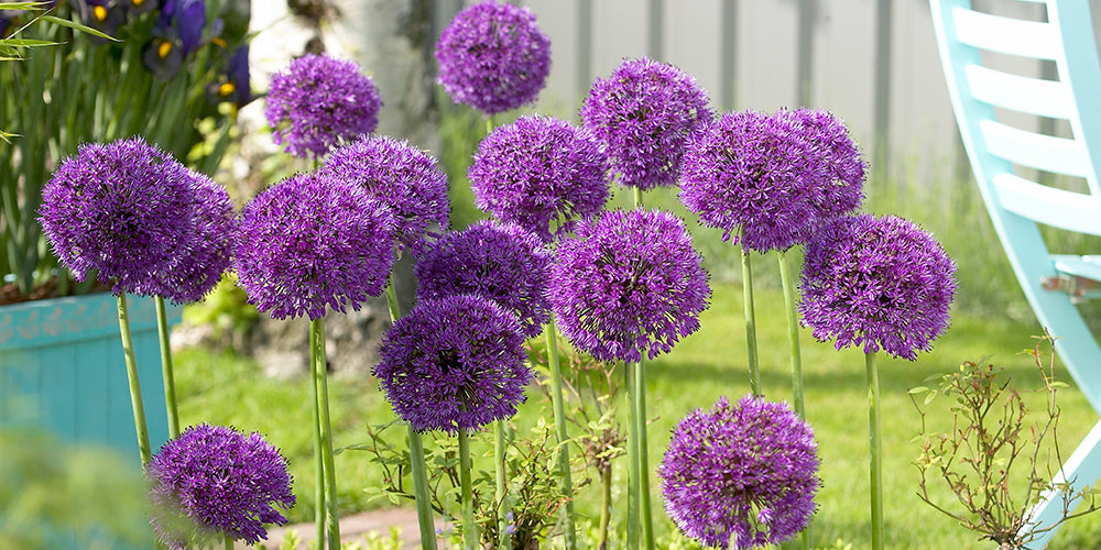 How To Plant Allium Bulbs
