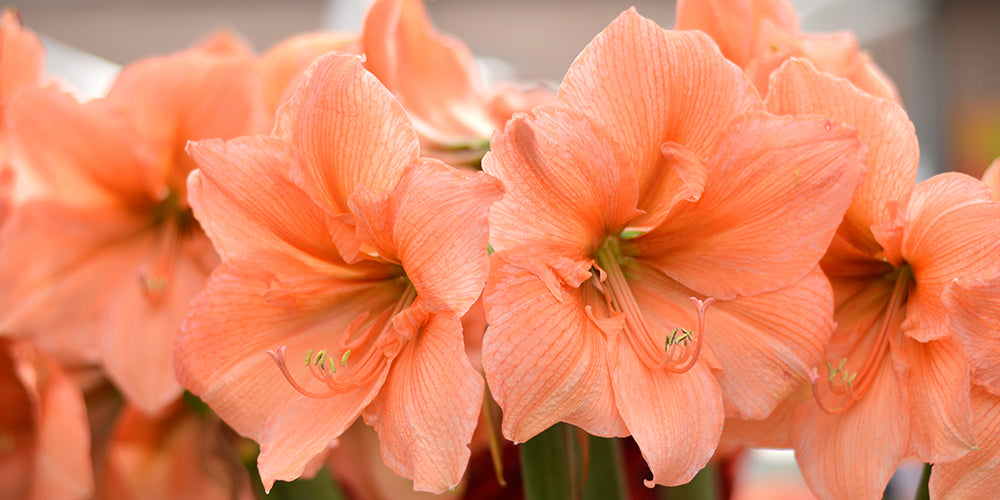 Apricot Salmon Amaryllis Rilona - How to Plant Amaryllis Bulbs?
