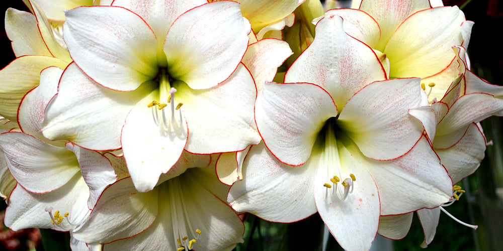 How to Plant Amaryllis Bulbs? - Your Planting Guide