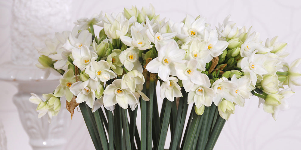 How to Grow Paperwhites - Indoor Holiday Narcissus