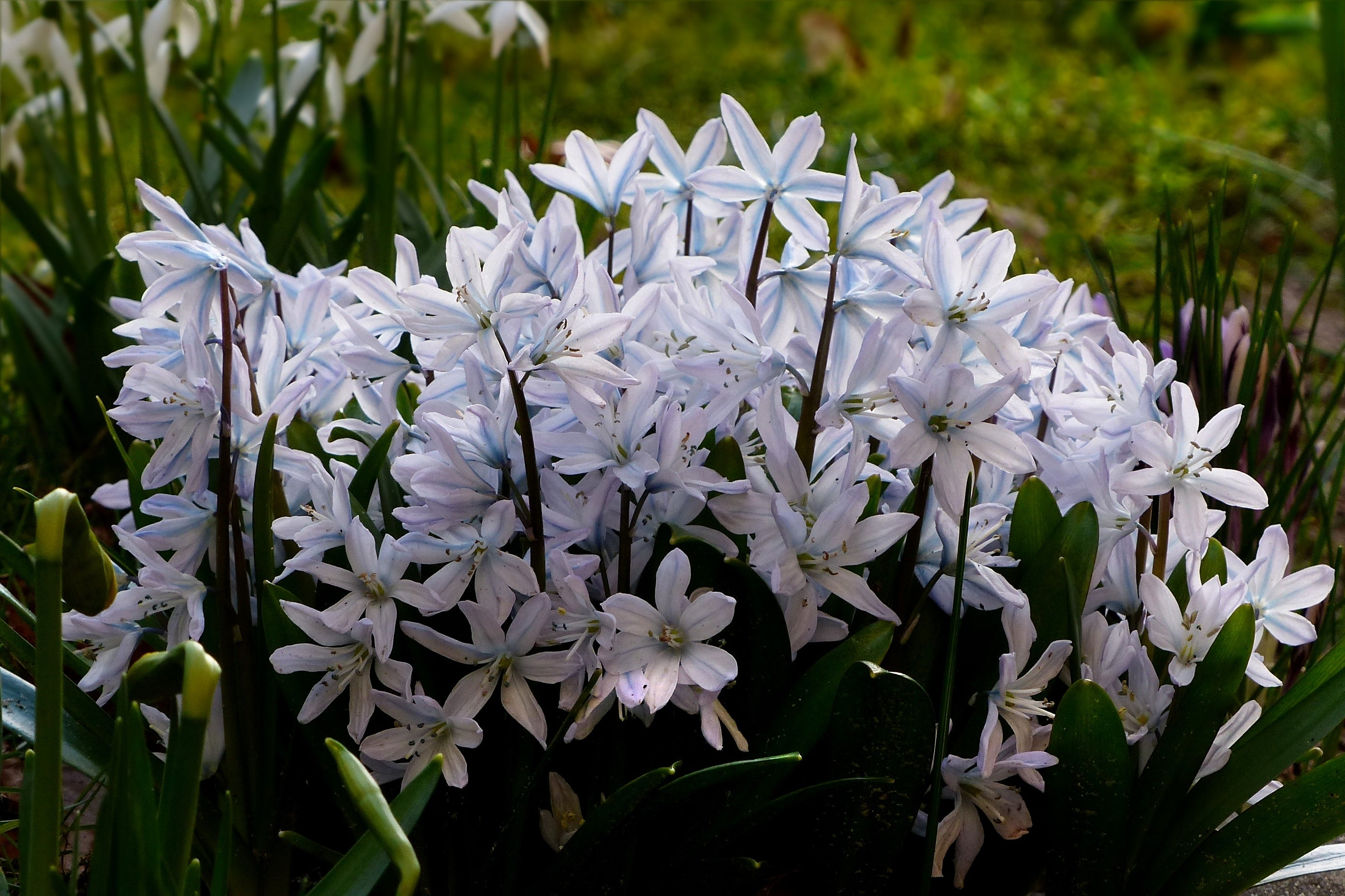 Scilla Siberica (White Squill) – The Hardy Naturalizer