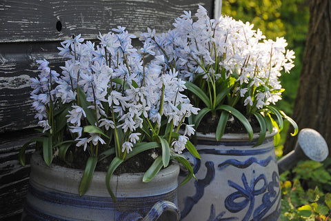 How to grow scilla bulbs
