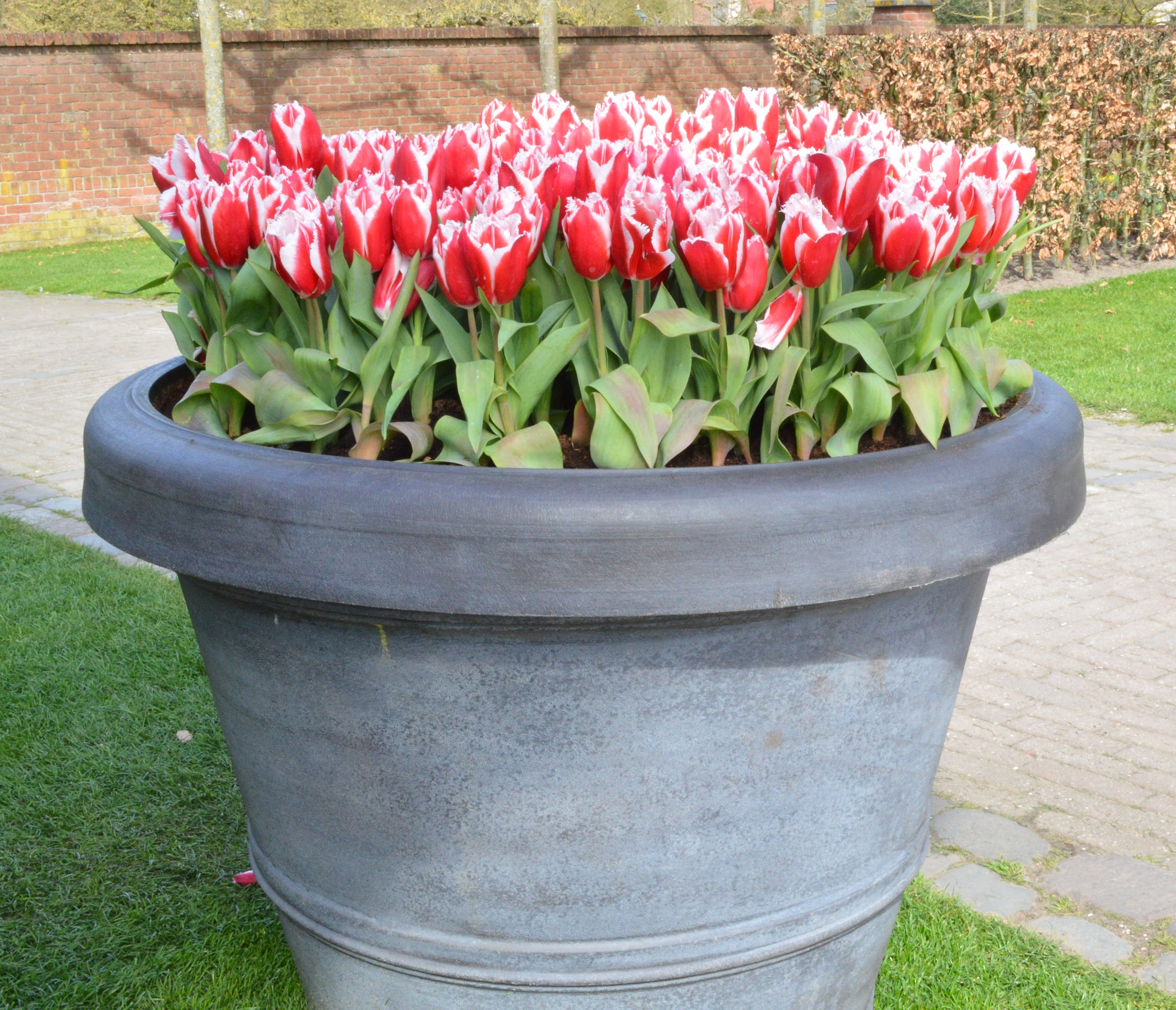 How to Grow Tulips in Pots or Containers?