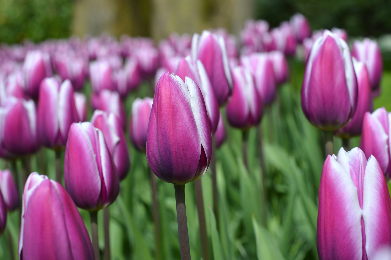 Tulip Purple Rain