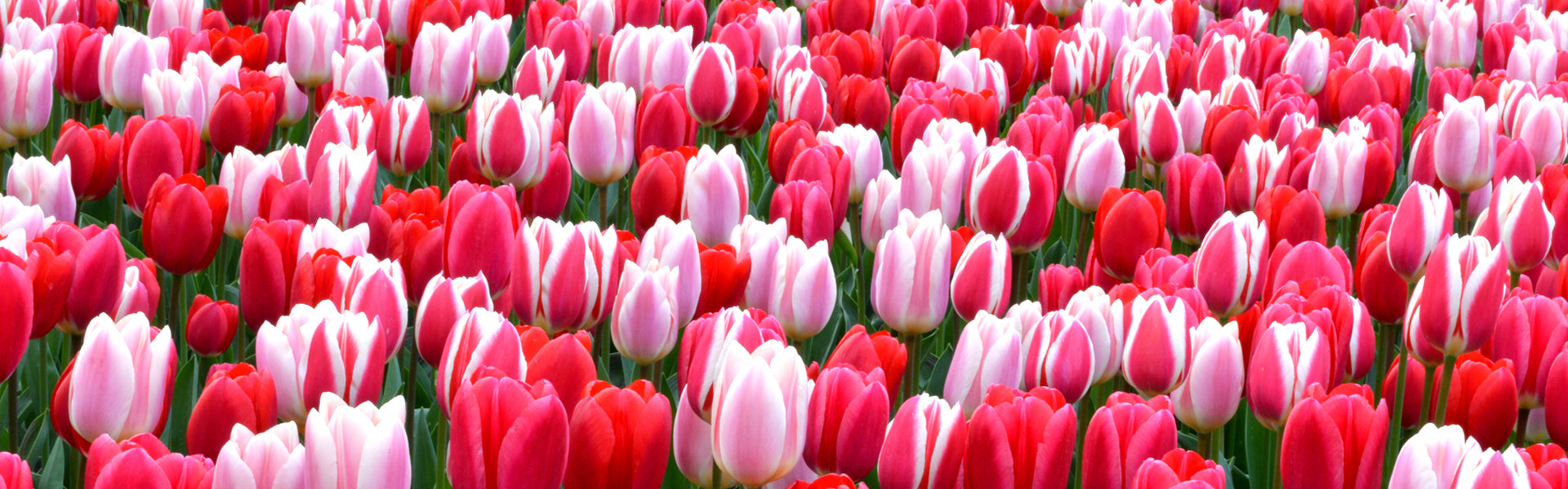 Bestselling Tulip Strawberry Fields Collection