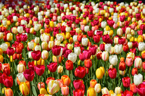 Tulip Tutti Frutti Collection