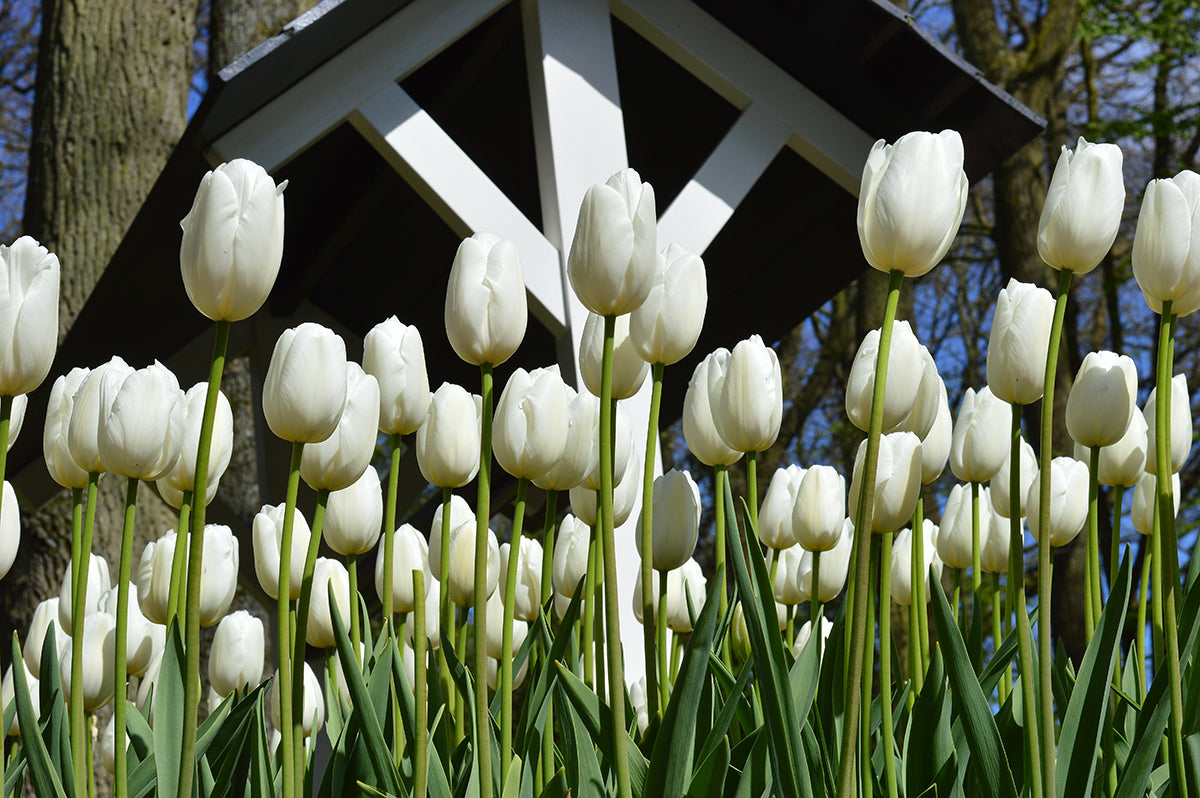 Tulip Clearwater Bulbs - White Gardening