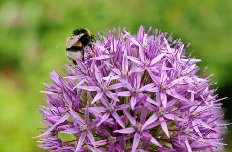 How to grow allium bulbs