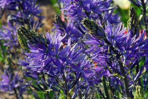 How to grow camassia bulbs