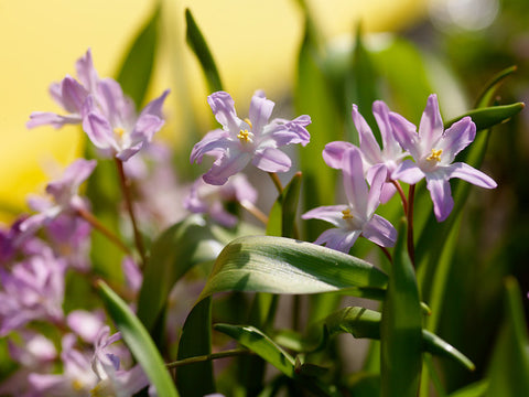 How to grow Chionodoxa