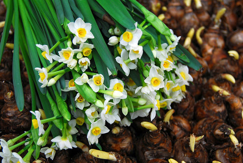 How to grow daffodil bulbs
