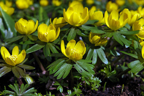 Growing Eranthis Bulbs