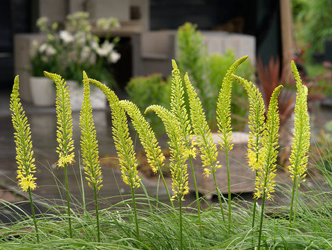 Growing Eremurus Bulbs
