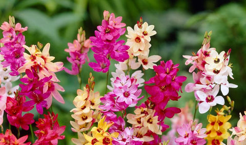 How to grow Ixia Bulbs