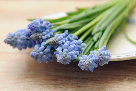 How to grow muscari bulbs