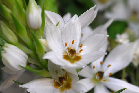 Growing ornithogalum bulbs