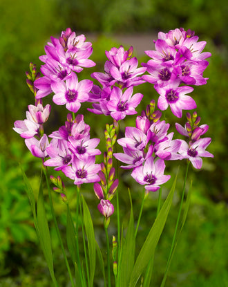 Ixia Purple - Fall Planted Flower Bulbs