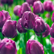 Tulip Negrita - All Time Purple Favorite Blooms