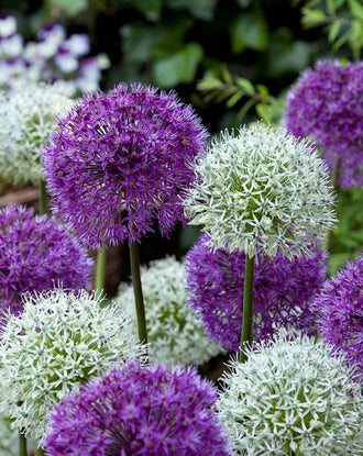 Allium Around the Globe Collection | Buy Online at DutchGrown™