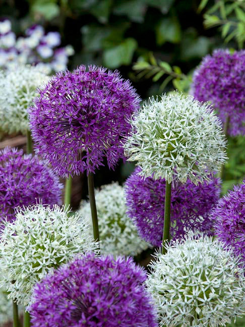 Allium Around the Globe Collection