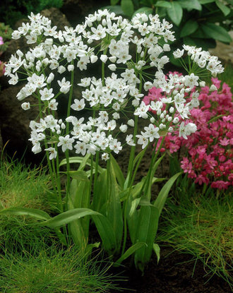 Allium Cowanii - White Allium Flower Bulbs - DutchGrown™