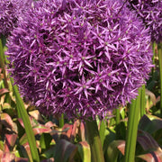 Allium Globemaster Bulbs - Giant Purple Blooms by DutchGrown™