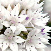 Allium Graceful Beauty Flower Bulbs