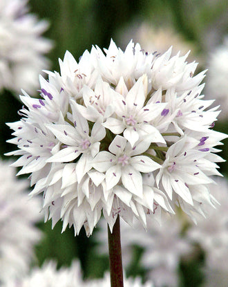Allium Graceful Beauty - White and Pink Ornamental Onion
