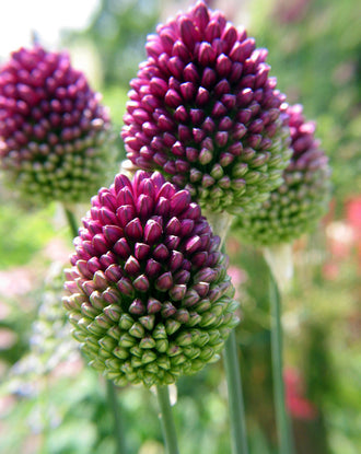 Alliums Sphaerocephalon - The Drumsticks Allium