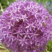 Giant Ornamental Onion - Allium Ambassador
