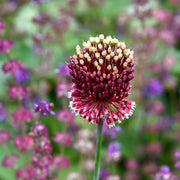 Allium Red Mohican Bulbs