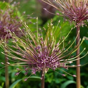 Allium Schubertii - Spider Flower - Pink