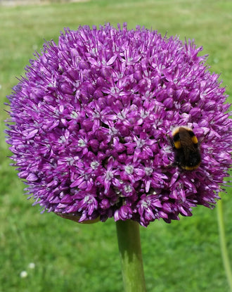 Purple Allium Ambassador