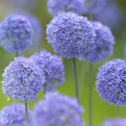 The Blue Allium - Ornamental Onion - DutchGrown Flower Bulbs