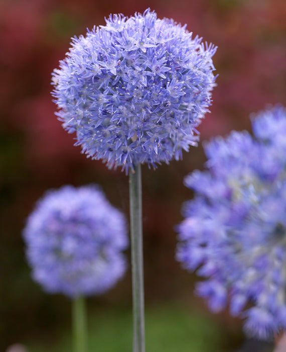 Allium Azureum - Blue Allium Flower Bulbs - DutchGrown™