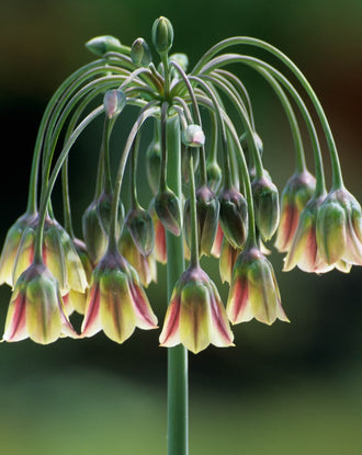 Allium Bulgaricum - Summer Bells Allium - DutchGrown Flower Bulbs