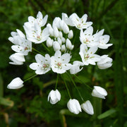 White Allium Cowanii - Flower Bulbs - DutchGrown™