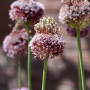 Allium Forelock - Unusual Red and White Allium