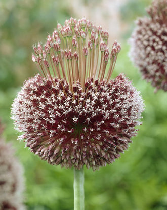 Allium Bulbs Forelock - Fall Planting and Gardening