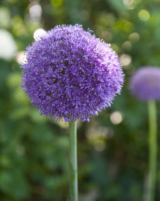 Allium Gladiator - Big Purple Blooms - Fall Planted Ornamental Onion