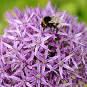 Allium Gladiator - Attracts Bees and Butterflies