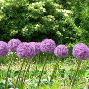 Purple Alliums Globemaster - Giant Flowers