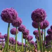 Extra Large Allium Globemaster - XXL - Huge Flowers