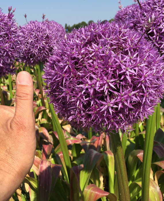 Allium Globemaster - Giant Purple Flowers - DutchGrown™