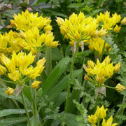 Yellow Allium Moly