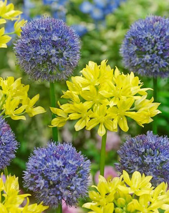 Allium Moly and Allium Azureum - Blue and Yellow Allium Bulb Mixture