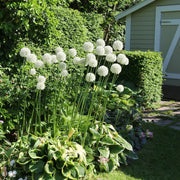 Mount Everest Alliums - White Allium Flowers