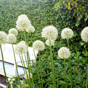 White Alliums - Mount Everest Ornamental Onion