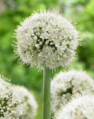 Giant Allium - Popeye - New White Strong Allium - DutchGrown