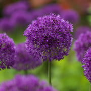 Purple Aflatunense Alliums